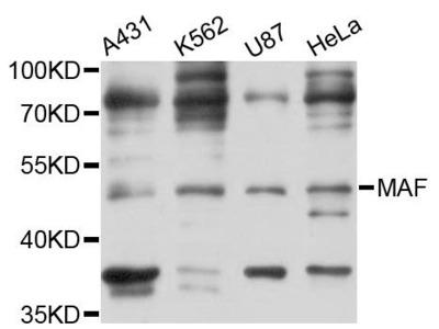 MAF Polyclonal Antibody