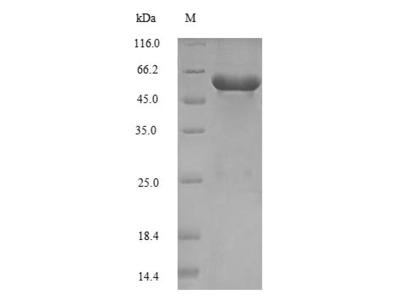 Recombinant Saccharomyces cerevisiae Serine--tRNA ligase, cytoplasmic (SES1)