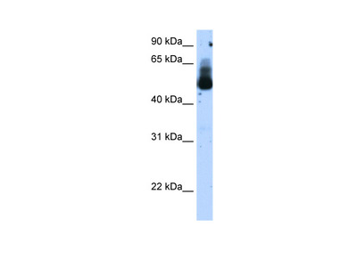 TRIM21 antibody - N-terminal region (ARP38247_T100)