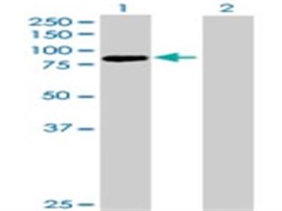 Protocadherin beta 13 Antibody