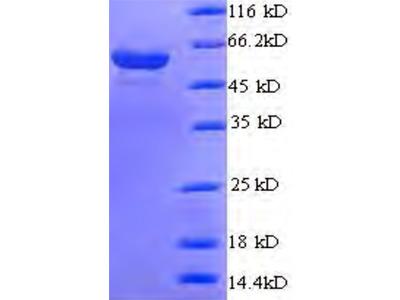 Recombinant Saccharomyces cerevisiae DNA polymerase delta subunit 3 (POL32)