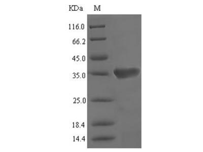Recombinant Mouse Vomeronasal secretory protein 1 (Lcn3)