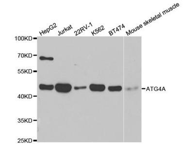 ATG4A Polyclonal Antibody