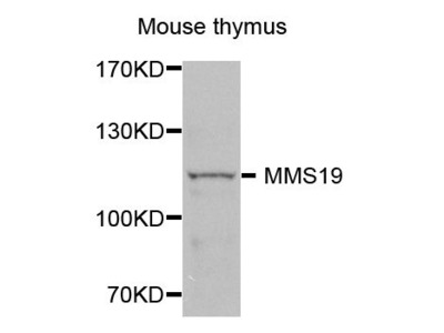 MMS19 Polyclonal Antibody