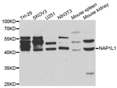 NAP1L1 Polyclonal Antibody