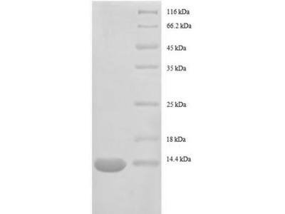 Recombinant E.coli 30S ribosomal protein S15