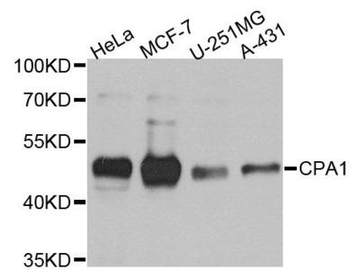 CPA1 Polyclonal Antibody
