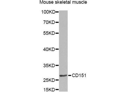 CD151 Polyclonal Antibody