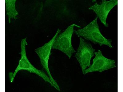 Calnexin-CT Antibody