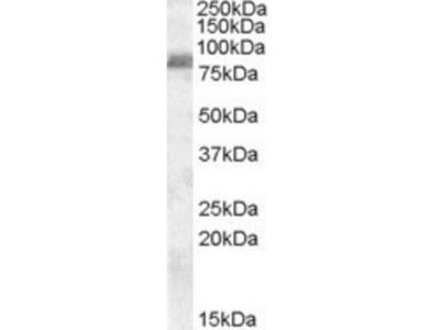 Goat Polyclonal ZRANB1 / Trabid Antibody