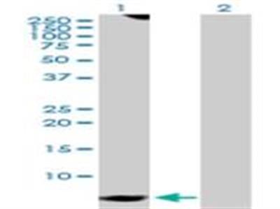 G gamma7 Antibody