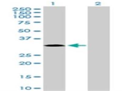 MAPK15 Antibody