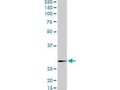 SNAP29 Antibody