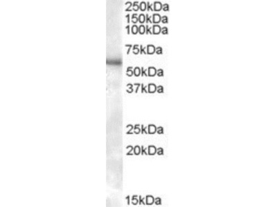 Goat Polyclonal P2X4 Antibody
