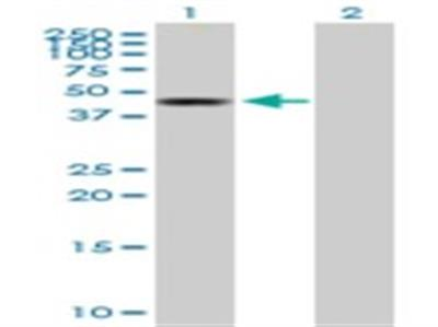 BLU Antibody