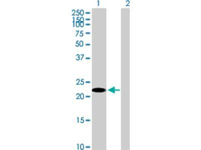 GilZ Antibody