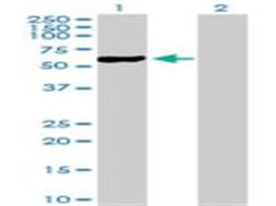 NFIC Antibody
