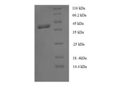 Recombinant human MORF4 family-associated protein 1-like 1
