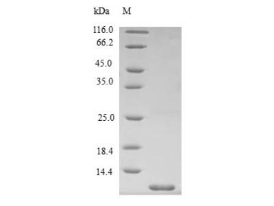 Recombinant Bacillus subtilis Stage V sporulation protein M (spoVM)