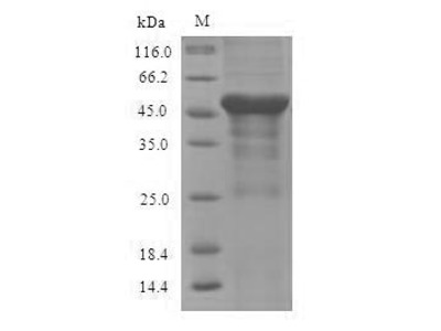 Recombinant Mouse Serine--pyruvate aminotransferase, mitochondrial (Agxt)