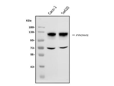 Anti-PROM1/Cd133 Picoband Antibody