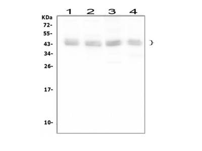 Anti-Bmi1 Antibody Picoband