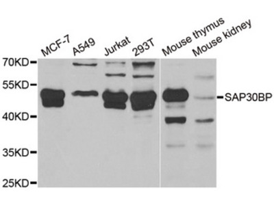 SAP30BP / HTRG Antibody