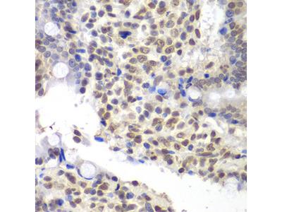 U2AF1 Antibody