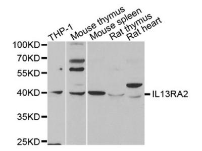 IL13RA2 / IL13R Alpha 2 Antibody