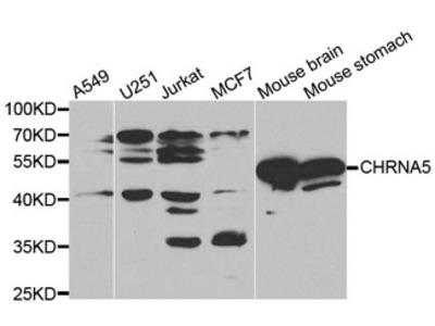 CHRNA5 Antibody