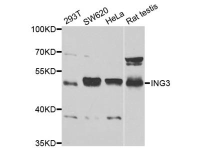 ING3 Antibody