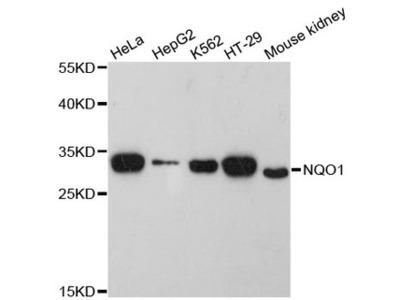 NQO1 Antibody