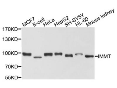 IMMT / Mitofilin Antibody