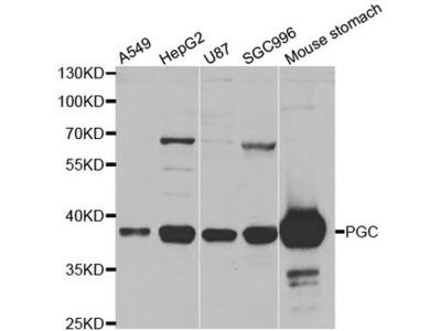 PGC / Pepsin C Polyclonal Antibody