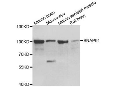 SNAP91 / AP180 Polyclonal Antibody