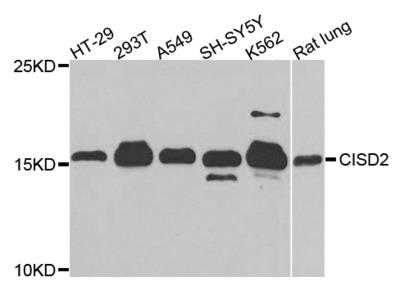 NAF-1 / CISD2 Polyclonal Antibody