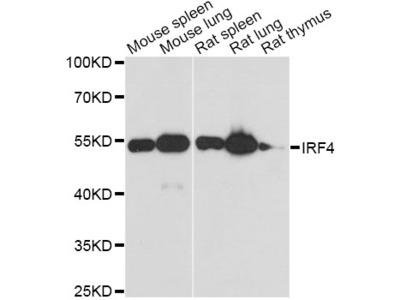 MUM1 Antibody