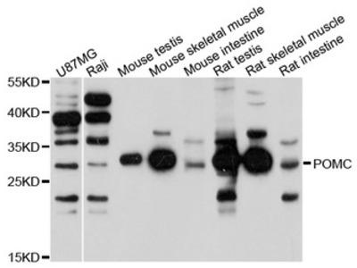 POMC / Proopiomelanocortin Antibody
