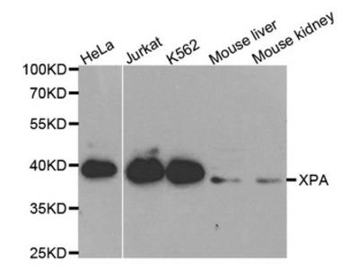 XPA Antibody