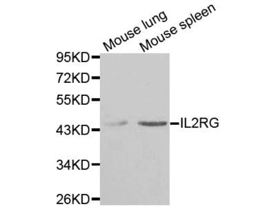 IL2RG / CD132 Antibody