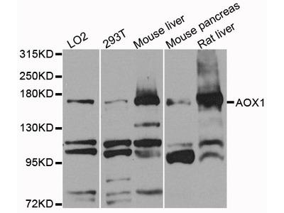 AOX1 / Aldehyde Oxidase Antibody