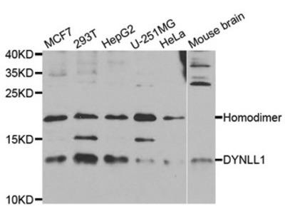 DYNLL1 / PIN Antibody
