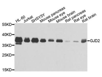 GJD2 / CX36 / Connexin 36 Antibody