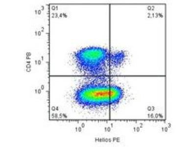 anti ZNFN1A2 (IKZF2, Helios) (51-107)