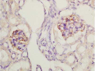 Nephrin Antibody