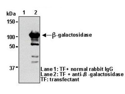 Anti-beta-galactosidase (Human) pAb