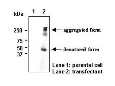Anti-SLC2A11 (GLUT11) (Human) pAb