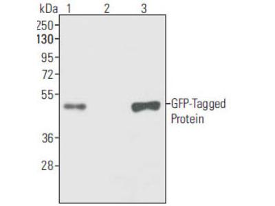 GFP Antibody (OAAH00055)
