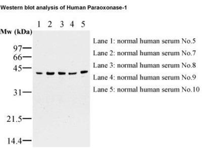 Anti-Paraoxonase-1 (Human) mAb