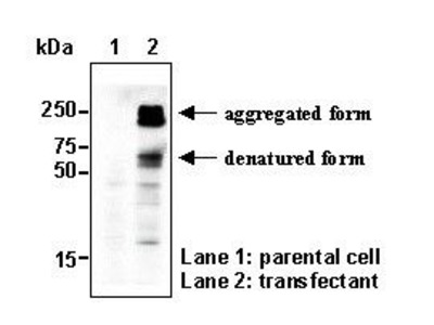 Anti-SLC1A7 (EAAT5) (Human) pAb